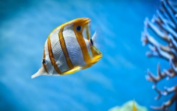 скриншот Copperband Butterfly Fish