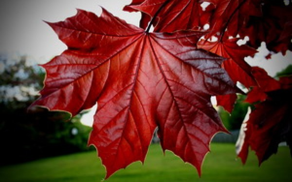 листья, клёна, красные.